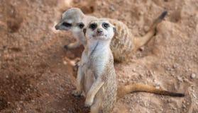 Para Meerkats Zdjęcie Royalty Free