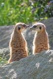 Para Meerkats jest przyglądająca na each inny Fotografia Stock