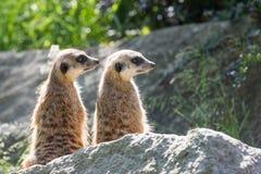 Para Meerkats siedzi na skale Obraz Royalty Free