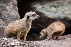 Para Meerkats (Suricata suricatta) Fotografia Stock