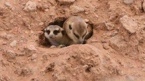Para meerkats zerknięcia na zewnątrz dziury Suricata suricatta zbiory