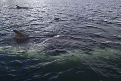 Para minke wieloryby Obrazy Royalty Free