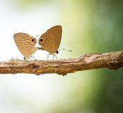 Para motyl robi miłości Obrazy Royalty Free