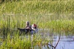 Para Muscovy kaczka w dzikim Obraz Stock