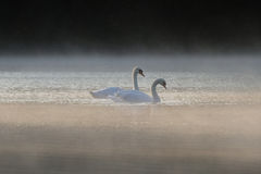 Para Niemych łabędź Cygnus Olor na mglistym jeziorze fotografia royalty free
