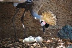 Para o leste guindaste coroado africano com os três ovos Unhatched fotografia de stock royalty free