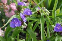 Para o mel roxo Abelha nas flores 2 Fotos de Stock