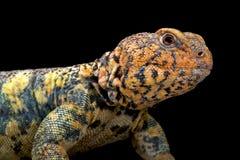 Para o sul lagarto Espinhoso-atado Arabian (yemenensis de Uromastyx) Imagem de Stock