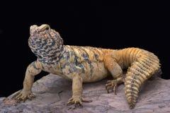 Para o sul lagarto Espinhoso-atado Arabian (yemenensis de Uromastyx) Foto de Stock Royalty Free