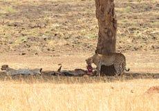 Para odpoczywa po posiłku gepard Zdjęcia Stock