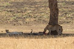 Para odpoczywa po posiłku gepard Zdjęcie Stock