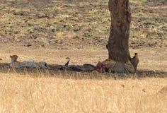 Para odpoczywa po posiłku gepard Fotografia Stock