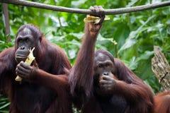 Para orangutangståendesikten Sittande och eatting sidor för orangutang två i den Singapore zoo arkivfoto