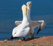Para Północni gannets w lęgowej koloni przy Helgoland islan Zdjęcie Stock