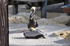 para pelikan Zdjęcie Royalty Free