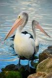Pelikan Zdjęcie Stock