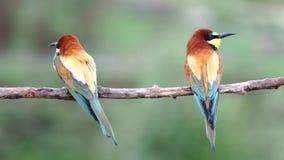 Para piękni dzicy ptaki siedzi na gałąź i spojrzeniach wokoło zdjęcie wideo