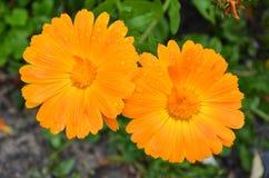 Para pomarańczowe stokrotki Zdjęcia Royalty Free