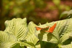 Para pomarańczowi Julia motyle tanczy na liściach Obrazy Royalty Free