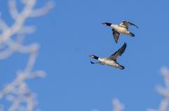Para Pospolite nurogęsi Lata w niebieskim niebie Fotografia Royalty Free