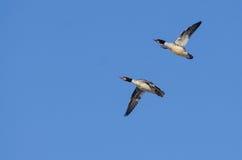 Para Pospolite nurogęsi Lata w niebieskim niebie Zdjęcie Royalty Free