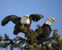 Eagles Obraz Royalty Free