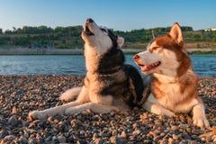 Para psów śliczny łuskowaty wycie Piękny Syberyjski husky wy kłamać na brzeg rzeki w promienia położenia słońcu obrazy royalty free