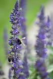 Para pszczoły Obrazy Royalty Free