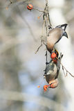 Para ptak jemiołuchy je jabłka w Parkowym obsiadaniu na br Zdjęcia Stock