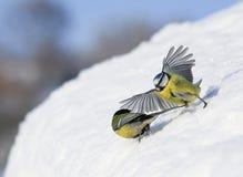 Para ptasi Tits chodzi na białym śniegu szeroko rozprzestrzenia uskrzydla i upierza w wiosna ogródzie przeciw Pogodnemu niebieski zdjęcie royalty free