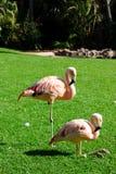 Para różowi flamingi na gazonie, Loro Parque, Tenerife, Hiszpania zdjęcia stock