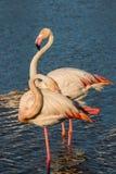 Para różowi flamingi na zmierzchu Fotografia Royalty Free