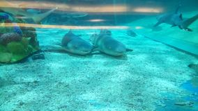 Para rekiny obrazy royalty free