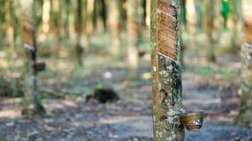 Para rubber farm. In thailand Stock Image