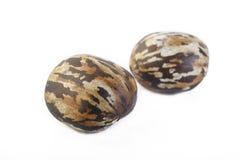 Para rubber seeds Stock Photo