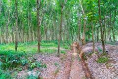 Para rubber tree . Stock Photo