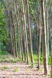 Para rubber tree farm Royalty Free Stock Photography