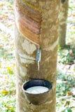 Para rubber tree farm Stock Images