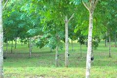 Para rubber tree garden Stock Photography