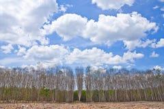 Para rubber tree garden in summer Stock Photo