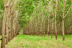 Para rubber tree gerdenning in Thailand Stock Image