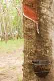 Para rubber tree gerdenning in Thailand Stock Photography