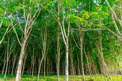 Para rubber tree, latex rubber plantation and tree rubber stock photography