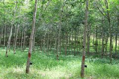 The Para Rubber Tree plantation Stock Photo