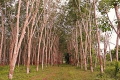 Para rubber tree plantation, weed condition. Para rubber tree plantation, weed infestation condition and yield harvest management royalty free stock photo