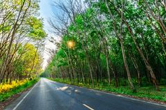 Para rubber tree and road way in southern Thailand royalty free stock photo