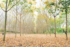 Para rubber woods Stock Photo