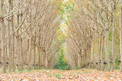 Para rubber woods Royalty Free Stock Images