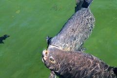 Para Rybi łasowanie na wodzie zdjęcia stock