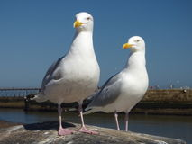 Para Seabirds na ścianie Zdjęcie Royalty Free